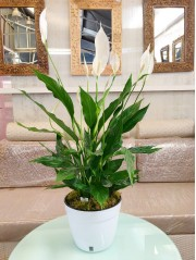 Spathiphyllum con autorriego