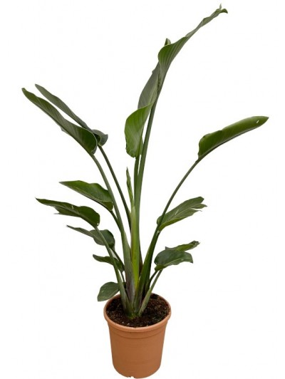Strelitzia M30(DISPONIBLE SOLO PARA MADRID)