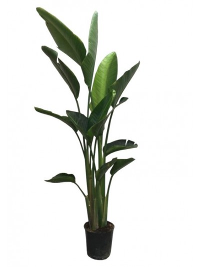 Strelitzia Nicolai M30(DISPONIBLE SOLO PARA MADRID)