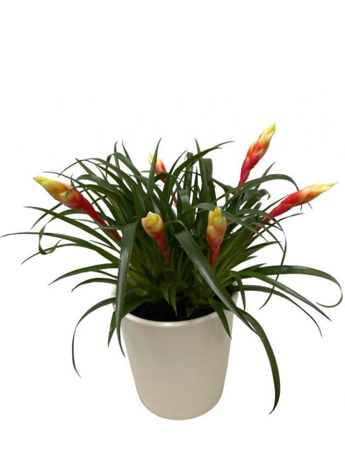 Tillandsia amarilla en maceta decorativa