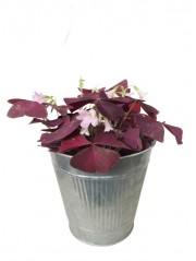 Oxalis triangularis en maceta decorativa