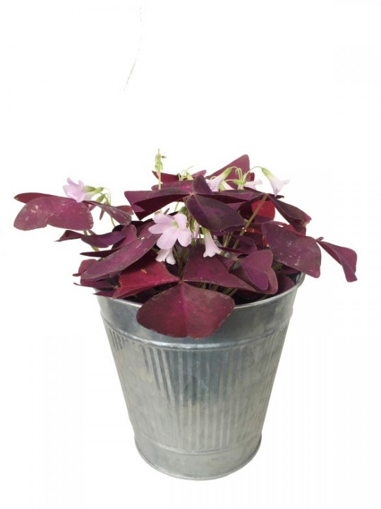 Oxalis triangularis en maceta decorativa