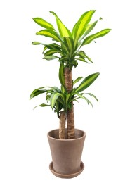 Dracena Massageana 100CM Barro cocido