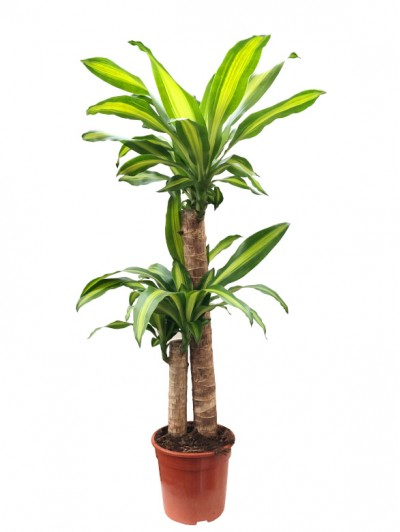 Dracena Massageana 100CM