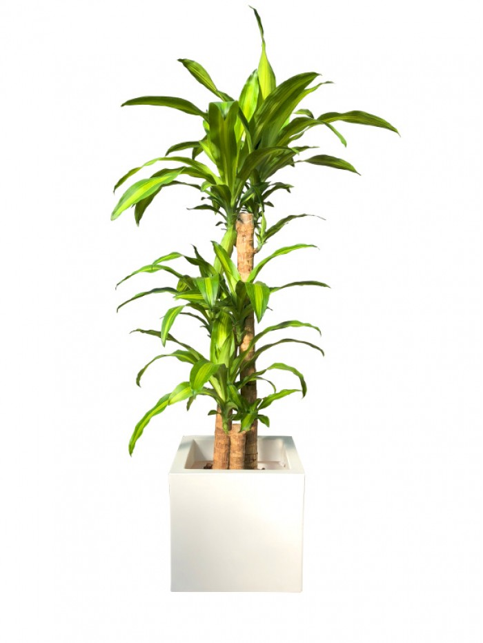 Dracena Massageana en resina(DISPONIBLE SOLO PARA MADRID)