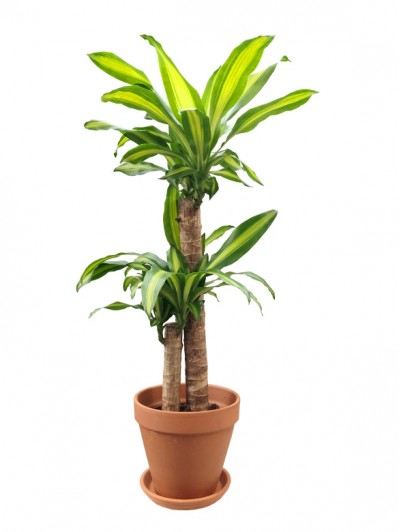 Dracena Massageana 100CM Barro